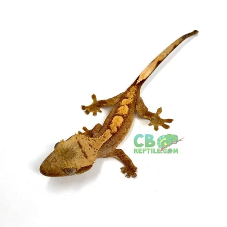 crested gecko morph