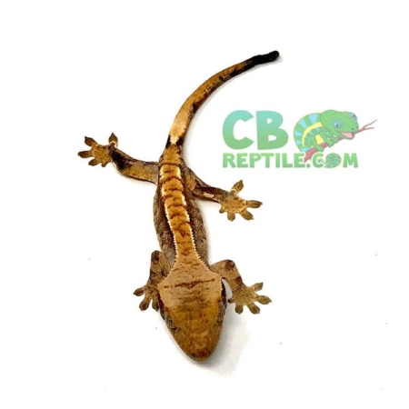 crested gecko for sale