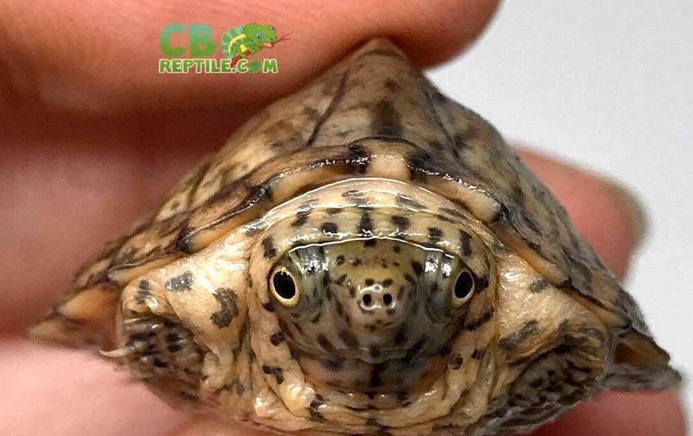razorback musk turtle for sale