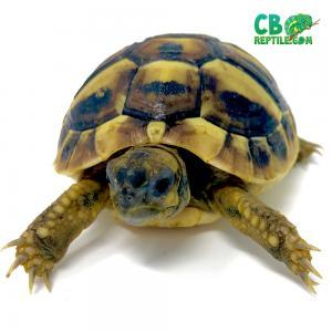 hermann's tortoise humidity