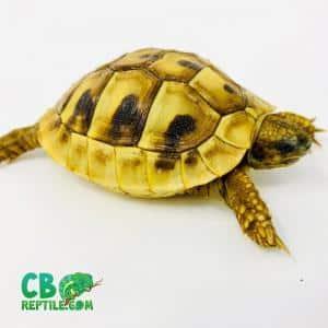 hermann's tortoise lifespan