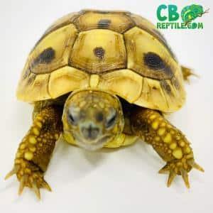 hermann's tortoise size