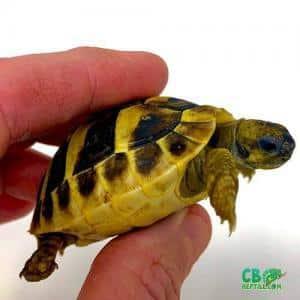 hermann's tortoise substrate