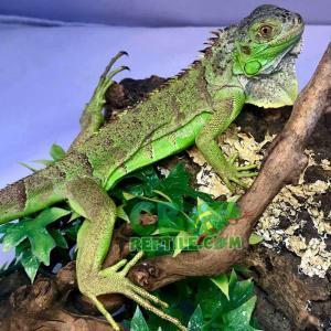 iguana humidity