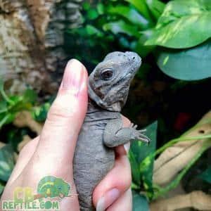 Iguana shedding