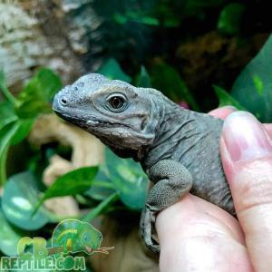 iguana temperature