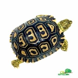 leopard tortoise habitat