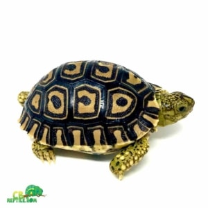 leopard tortoise humidity