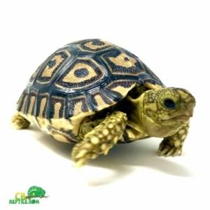 leopard tortoise lifespan