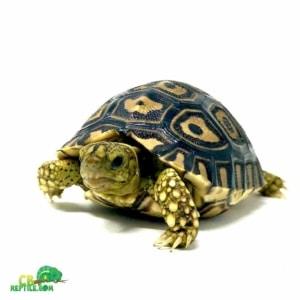 leopard tortoise range