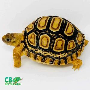 leopard tortoise substrate