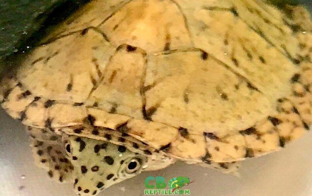 razorback musk turtles