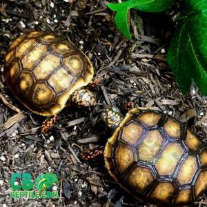 red foot tortoise care