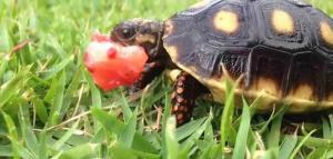 red foot tortoise diet