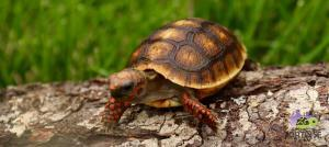 red foot tortoise size