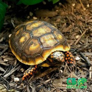 red footed tortoise diet