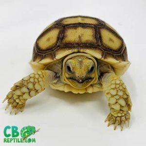 Sulcata tortoise appearance