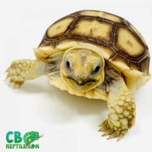 Sulcata tortoise habitat
