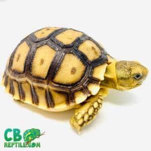 Sulcata tortoise range
