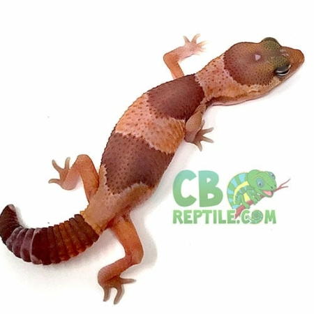 african fat tailed gecko morph