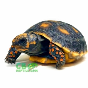 Cherry head tortoise substrate