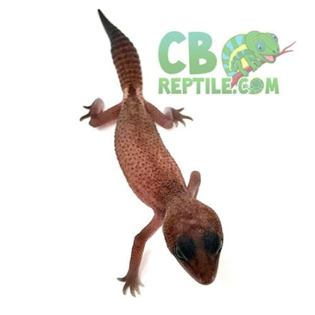 african fat tail gecko for sale