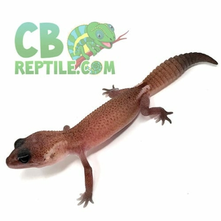 african fat tail geckos for sale