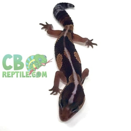 african fat tailed gecko for sale
