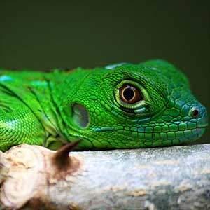 iguana price