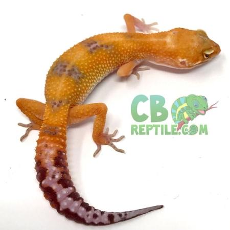 blood albino leopard gecko