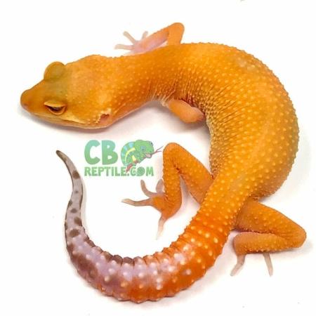 blood albino leopard gecko for sale