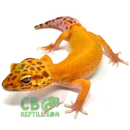 blood albino leopard geckos for sale