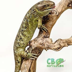 monkey tailed skink for sale