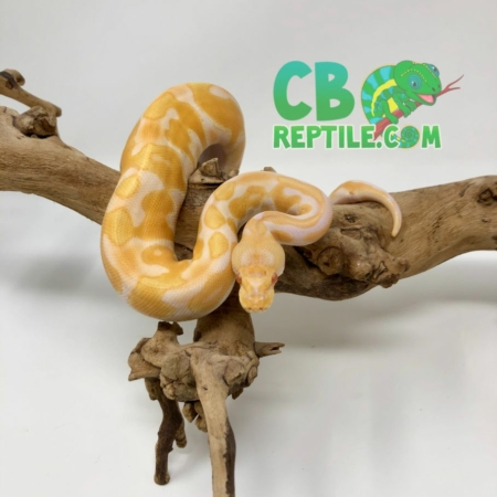 Albino Black Pastel Enchi ball python