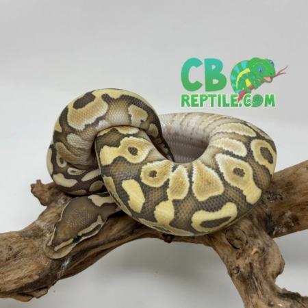 Butter Vanilla Ghost ball python