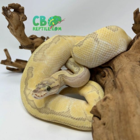 Butter Enchi Ghost ball python