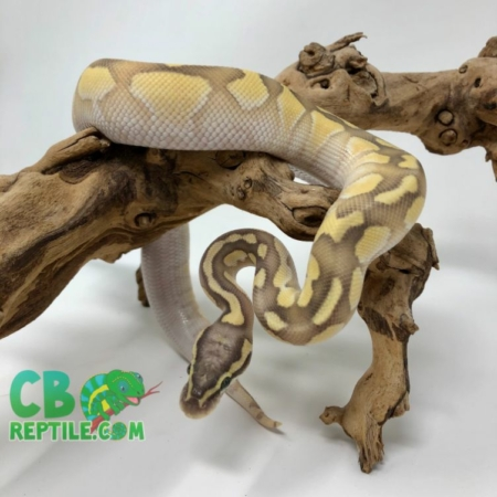 Pastel Butter Enchi Ghost ball python