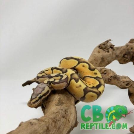 Pastel Enchi Vanilla Ghost ball python