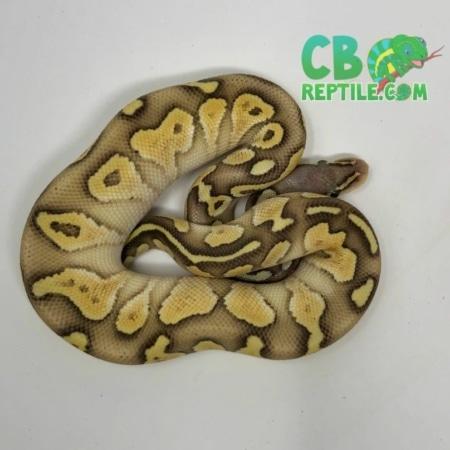 Pastel Butter Vanilla Ghost ball python