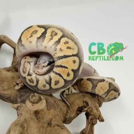 Super Vanilla Ghost ball python