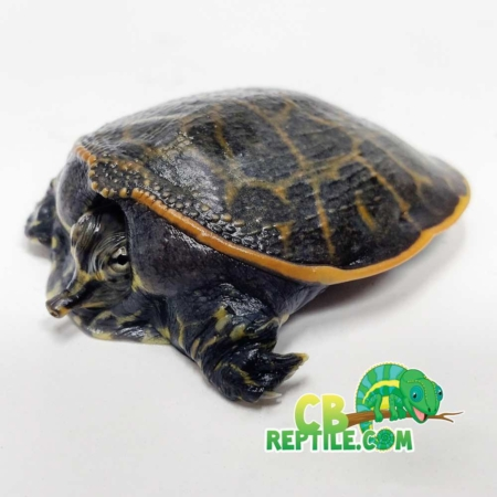 Baby florida softshell turtle for sale