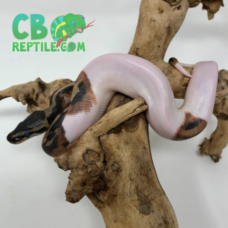 High White Pied Ball Python