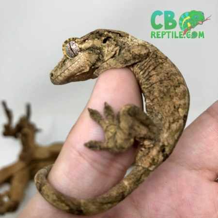 baby chahoua gecko