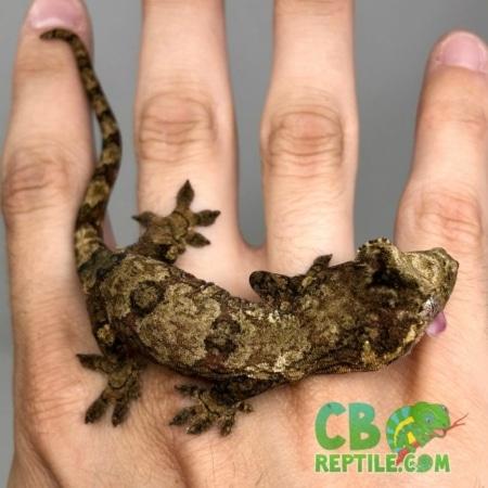 Pine Island Chahoua gecko
