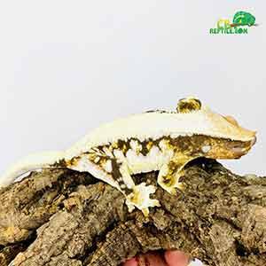 lily white gecko