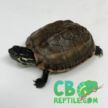 Reeve's turtle