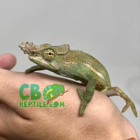 Fischer's Chameleon