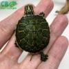 baby Red belly slider turtle