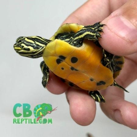 Red belly slider turtle for sale