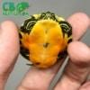 Red belly slider turtle
